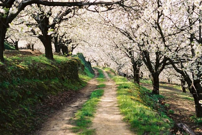 Camino entre el bosque de cerezos en flor, Valle del Jerte. Foto: Víctor Estrada