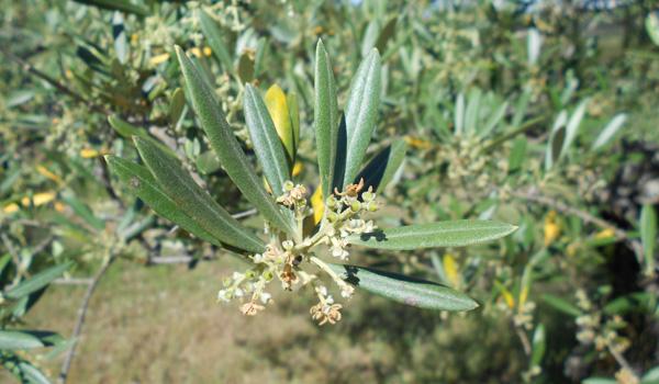 Olivos en Herguijuela de la Sierra